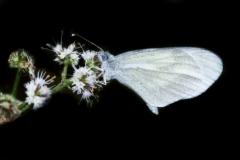 Pieride-della-Senape-Leptidea-Sinapis